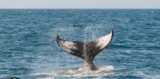 """Análise aponta que """"baleias"""" adormecidas podem afetar o preço do Bitcoin se retomarem à atividade"""