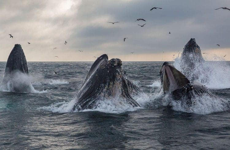 Baleias movimentam mais de 70 mil Bitcoins em menos de 10 minutos