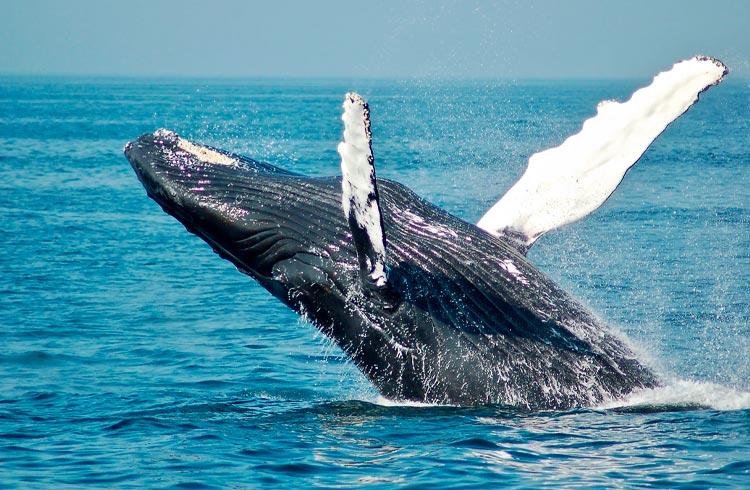 Contrato do ETH 2.0 já é a maior baleia do mercado cripto